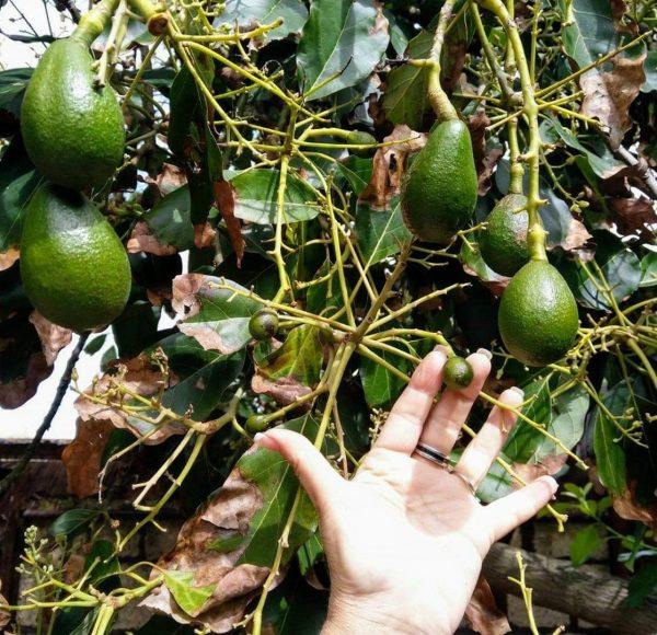avocado, immagine della mia mano che mostra i frutto in diverse epoche di maturazione
