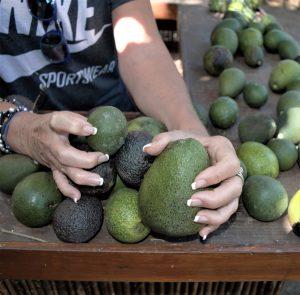 tre tipi di avocado: fuerte, rincòn e hass